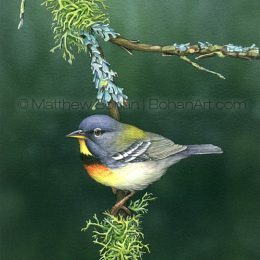 Northern Parula and Lichens (Transparent Watercolor on W&N 140lb NCP Paper about 10 x 7 in) Original Available