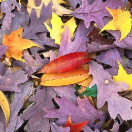 White Oak Leaf Litter