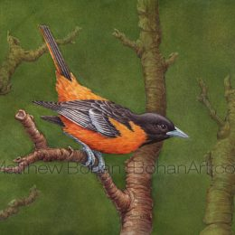 "Baltimore Oriole on Green (Transparent Watercolor on 140lb HP Paper 8 x 10 in) Original painting is available <a href=""https://www.etsy.com/listing/85579409/original-watercolor-painting-of?ref=shop_home_active_35"">here.</a>"