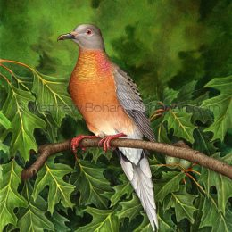 Passenger Pigeon on Red Oak (Transparent Watercolor on W&N 140lb NCP Paper 10 x 14 in) NFS