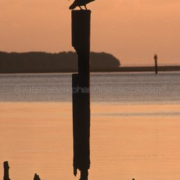 Brown Pelican Sunrise