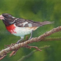 Rose-breasted Grosbeak (Transparent Watercolor on 140lb HP Paper 8 x 10 in) Original Available