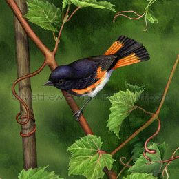 Male American Redstart on Grapevine (Transparent Watercolor on Lana 140lb HP Paper about 8.5 x 11 in) Original Available