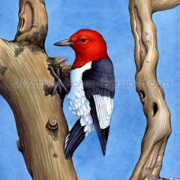 Red-headed Woodpecker (Transparent Watercolor on W&N 140lb NCP Paper about 10 x 14 in) Private Collection