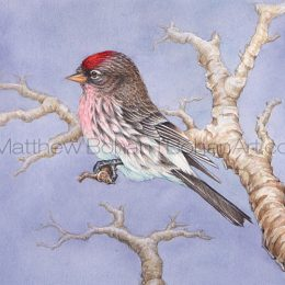 Common Redpoll (Transparent Watercolor on Lana 140lb HP Paper 5 x 7 in) Original Available