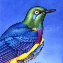 "Golden-fronted Starling (Transparent Watercolor on 140lb HP Paper 6.5 x 7.5 in)  Original painting is available <a href=""https://www.etsy.com/listing/85568013/original-watercolor-painting-of-golden?ref=shop_home_active_6"">here.</a>"