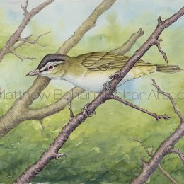 Red-eyed Vireo (Transparent Watercolor & Ink on Arches 140lb HP Paper 7.5 x 10 in) Original Available