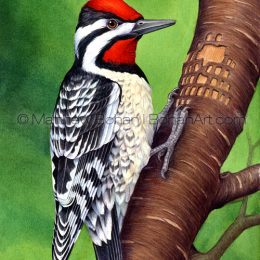 Yellow-bellied Sapsucker (Transparent Watercolor on W&N 140lb HP Paper about 8 x 14 in) Original Available