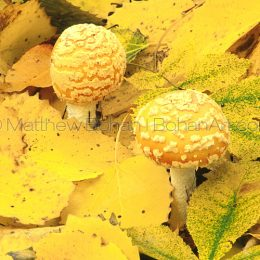 Yellow Patches Mushroom Buttons